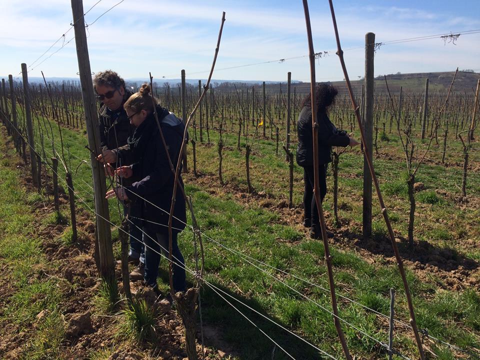 有機葡萄畑で男性2人と女性1人が葡萄のつるをつけている写真