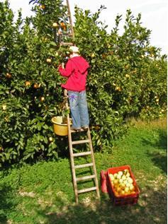 農園で果実を収穫しているブラッドオレンジ生産者の写真