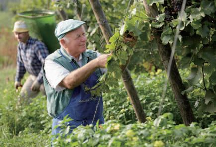 有機葡萄農園で手摘みで収穫している男性の写真