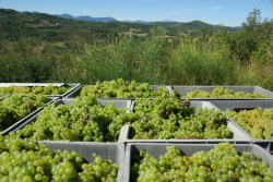 ワイン葡萄
