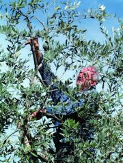 オリーブ収穫風景写真