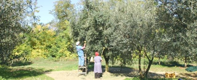 オリーブ農園