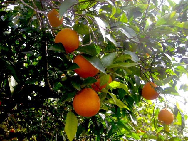 ブラッドオレンジがなっている写真