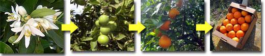 有機栽培ブラッドオレンジが色づいていく様子の経過写真