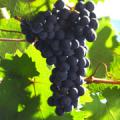 ドルンフェルダーの葡萄の房の写真