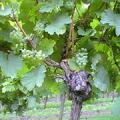 リースリングの葡萄の房の写真