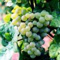 ショイレーベの葡萄の房の写真