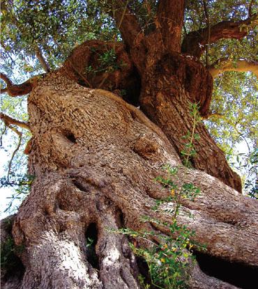 オリーブの古樹の写真